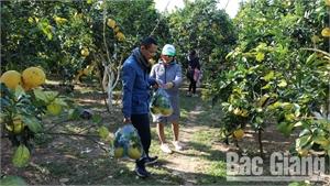 Lục Ngạn: Nhiều chủ vườn tăng thu nhập nhờ khách du lịch