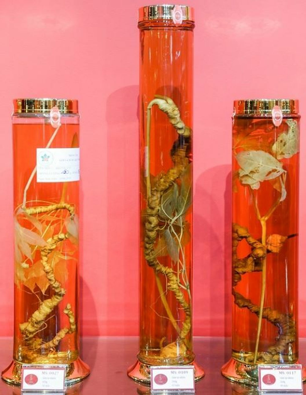 root of ginseng, Saigon museum, Ngoc Linh Ginseng Museum, national treasure, endemic species, medicinal plant frequently