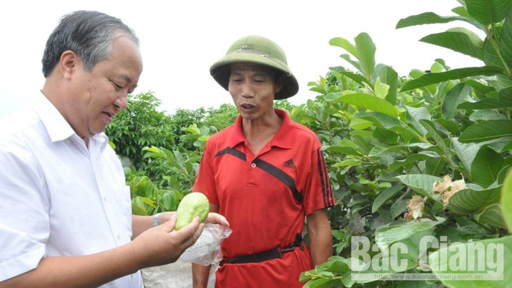 Tan Yen district, science and technology, fruit tree planting, productivity increase, product value, Bac Giang province, scientific and technological advances, economic efficiency