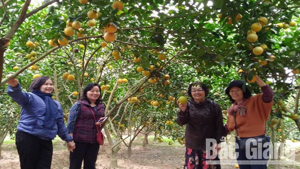 Orchard owners, Luc Ngan district, increase income, Bac Giang province, good consumption, VietGAP procedure, Green Dream Education and Experience