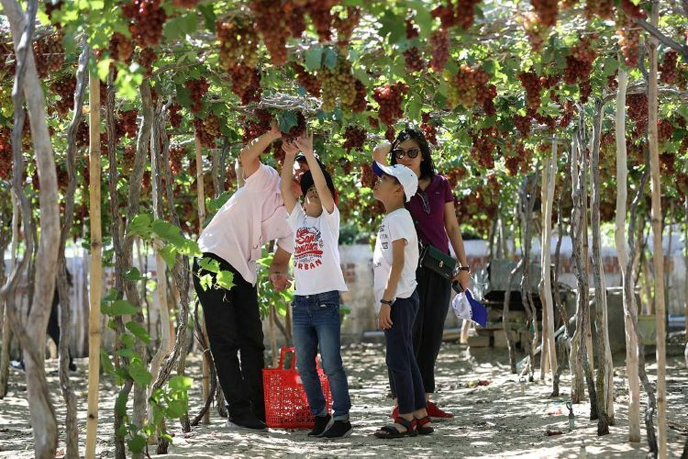 Ninh Thuan gardens, fingernail grapes, higher yield, succulent flavor, crunchy skin, local and foreign tourists