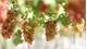 Tourists go grapes for Ninh Thuan gardens
