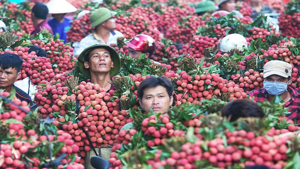 Japan officially opens door for Vietnamese fresh lychee