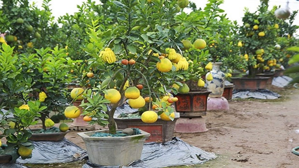 Five-fruit trees, plants shaped like rats popular for Tet
