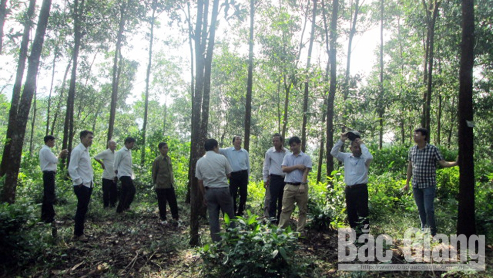 Bac Giang province, large-timber forests, sustainable development, ecological environment, Forest Protection Department,  intensive farming model