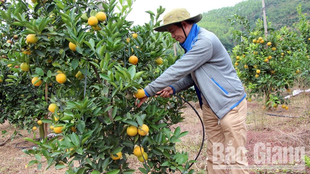 Ông Bùi Xuân Chỉnh, xã Tân Mộc (Lục Ngạn) chăm sóc vườn cam lòng vàng.