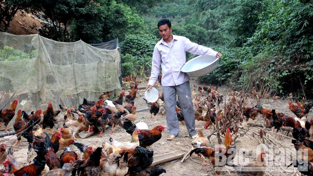 Thu nhập cao từ nuôi gà thả đồi
