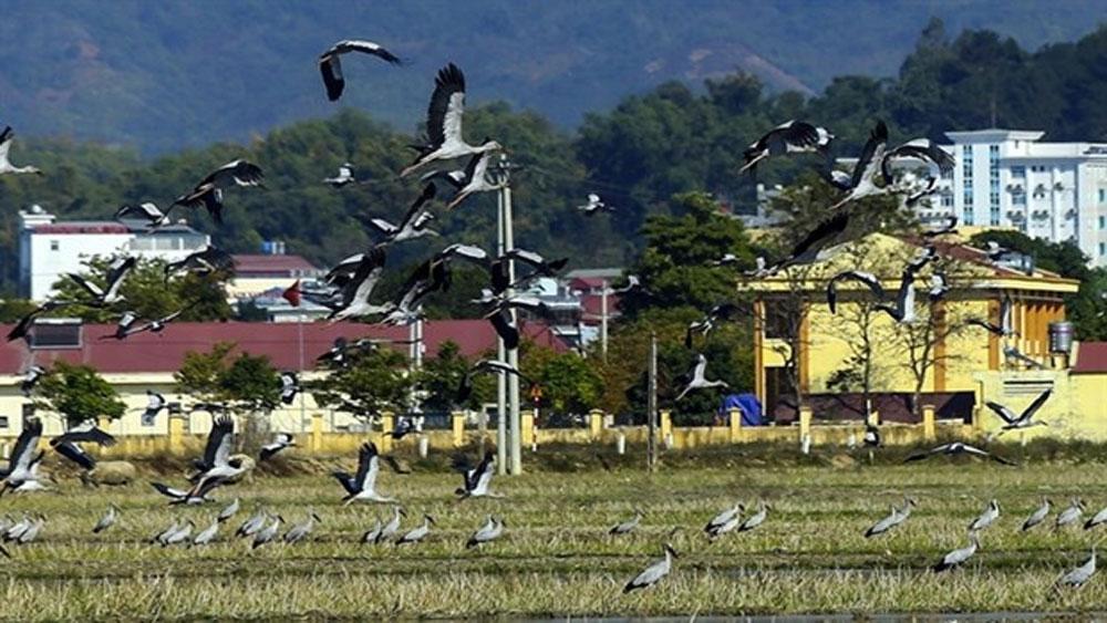 Rare storks, Dien Bien province, co nhan, openbill stork, Anastomus Oscitans, Red Data Book, rare and endangered species