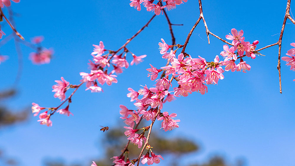 Cherry trees cast pink halo over Central Highlands gem