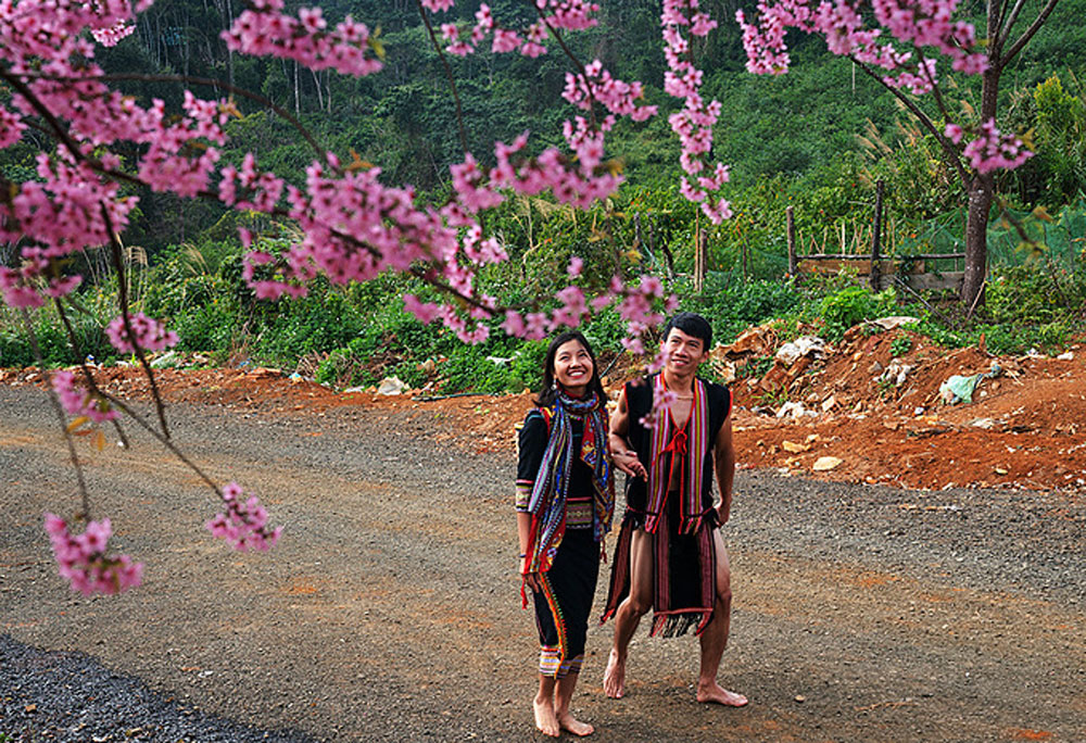 Cherry trees, pink halo, Central Highlands gem, Kon Tum Province,  second Da Lat, blooming cherry trees