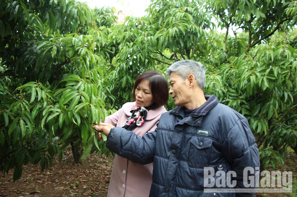 Bac Giang province, prepares conditions, exporting lychees to Japan, Vietnamese lychees, fresh lychee imports, technical training
