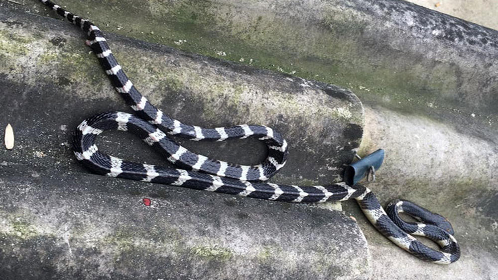 Bé 22 ngày tuổi bị rắn cắn tử vong khi nằm ngủ cùng mẹ