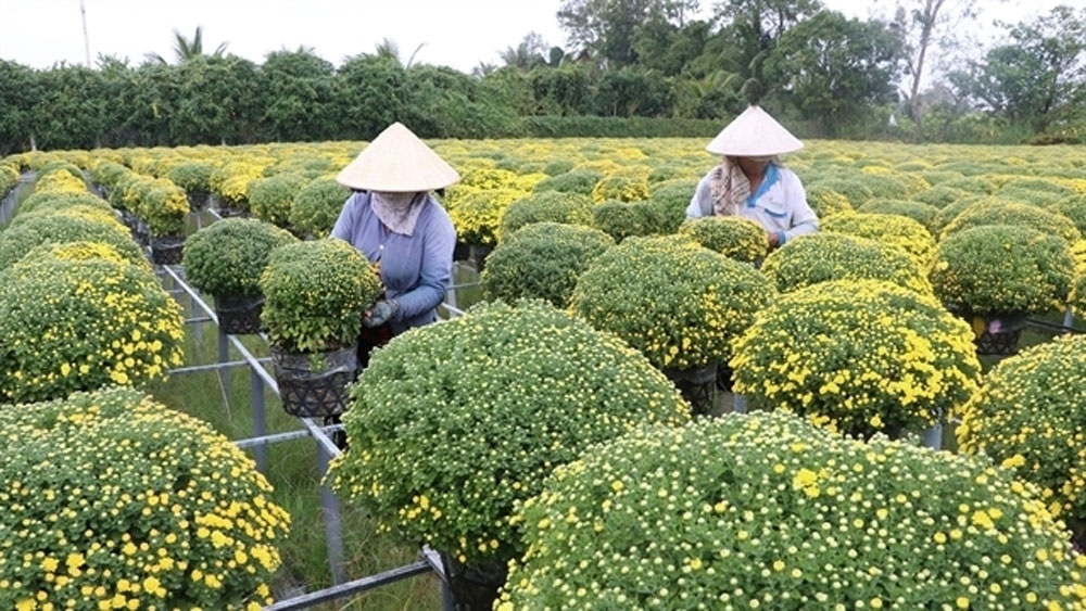 Mekong Delta farmers expect good harvest of Tet flowers