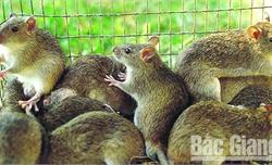 Về Cao Lôi nghe chuyện diệt chuột