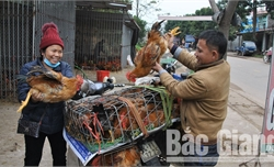 Giá gà giảm, giá lợn hơi ổn định, đủ nguồn cung