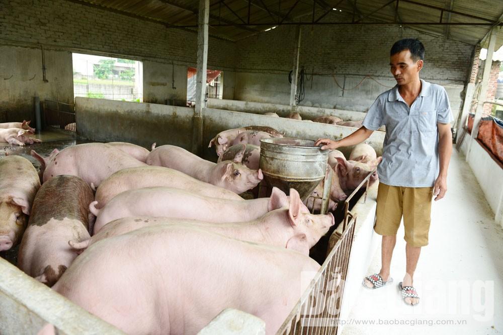Cung ứng thực phẩm dịp tết, giá lợn hơi, giá gà thịt
