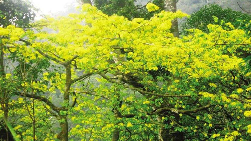Tay Yen Tu, yellow apricot, Tet market, Bac Giang province, hi-tech plantation, 2020 Lunar New Year,  beautiful yellow flower
