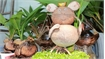 Rodent-shaped coconut seedlings go like a rat up a drainpipe