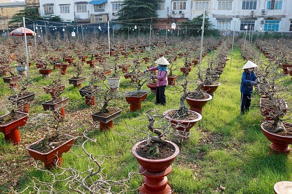 Yellow mai flower village, picture of Tet diligence, golden Tet happiness, cross-country transportation, bonsai trees