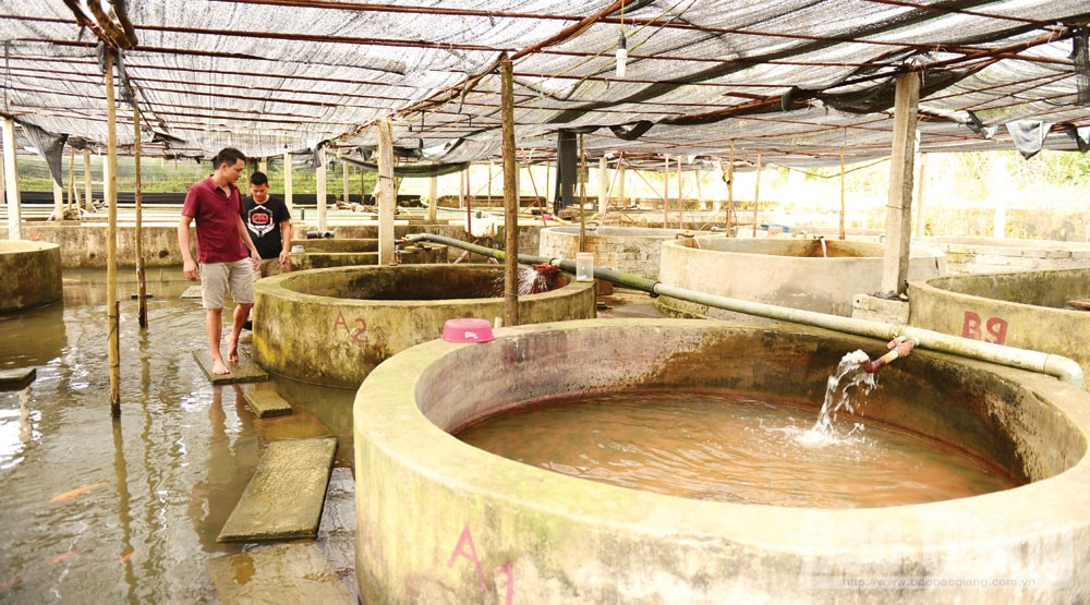 Sturgeon farming, Bac Giang province, Ha Tran Quyen, sturgeon culturing ponds, Cam Son lake, professional technical procedures, pond system