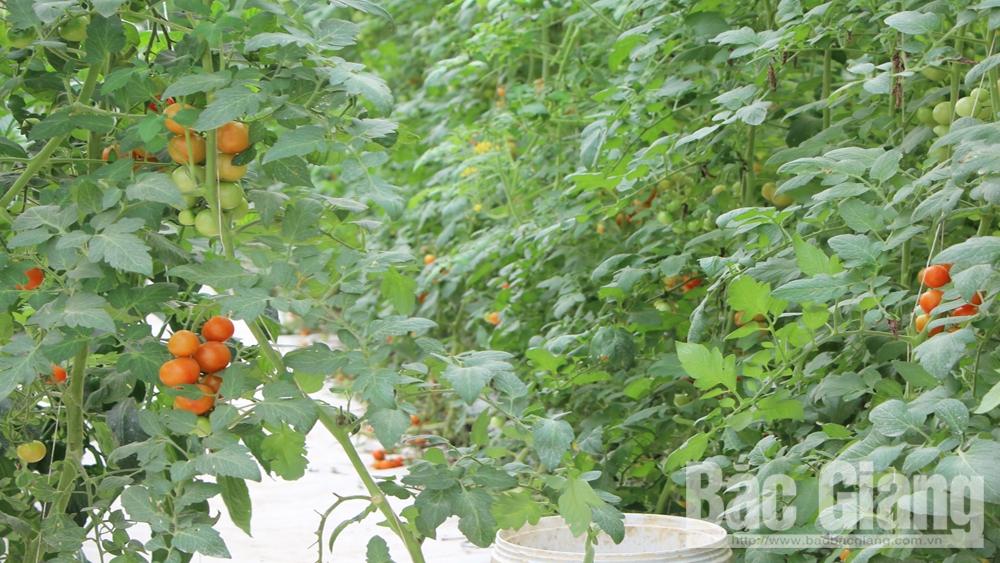 mưa đá, rau màu, Bắc Giang