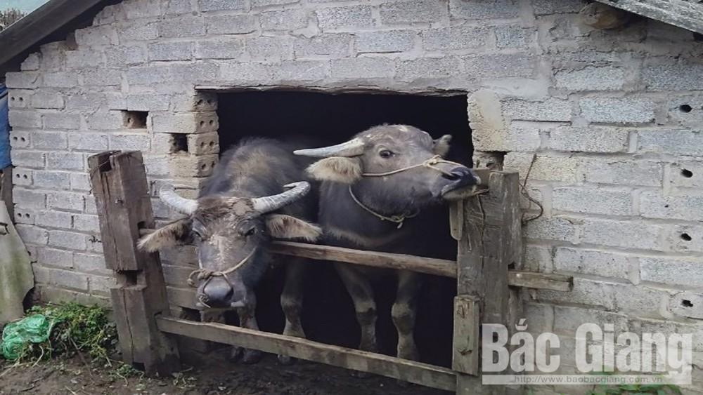 Sơn Động: Nhiều gia súc mắc bệnh lở mồm long móng