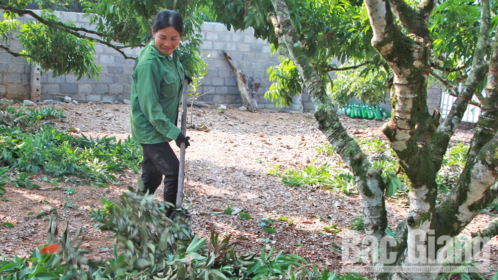 Bac Giang follows lychee production procedure for export