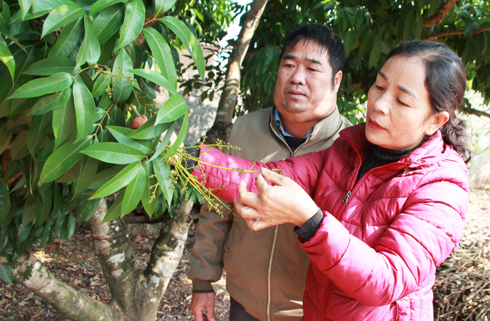 Bac Giang province, lychee production procedure, export standard, lychee cultivation, Luc Ngan district, domestic consumption and export, demanding markets