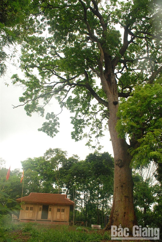 Cây lim xanh cổ thụ ở thôn Xuân Lung.
