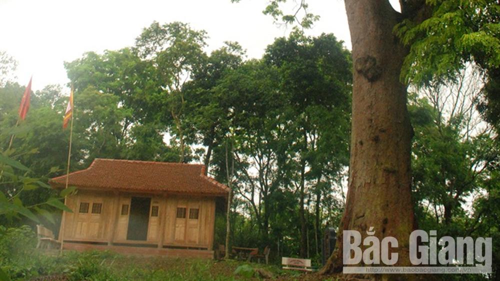 Cây lim xanh nghìn năm tuổi- báu vật rừng Yên Thế