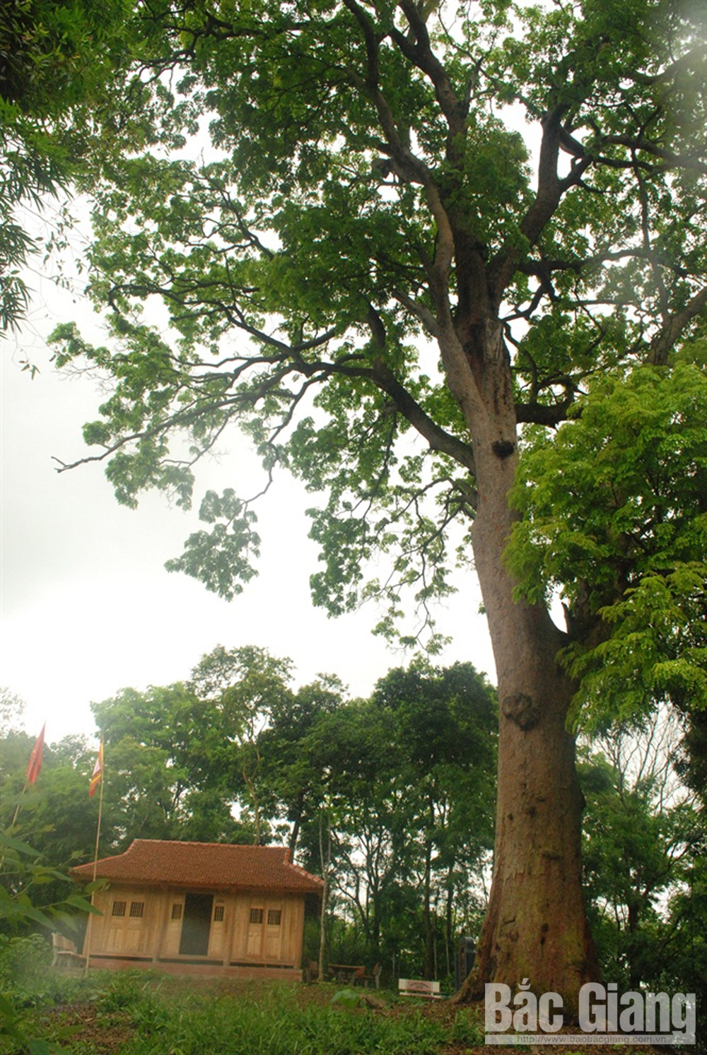 Millennial ironwood tree, treasure of Yen The forest, Bac Giang province, ancient giant green ironwood tree, ancient relics