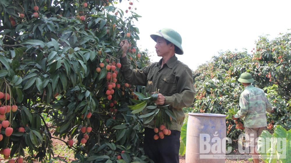 Hằng năm, vải thiều là mặt hàng nông sản của tỉnh được xuất khẩu sang Trung Quốc nhiều nhất.