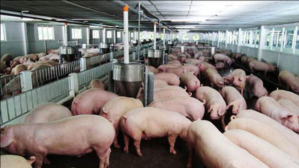 Bộ trưởng, yêu cầu, giảm giá thịt lợn, ngay lập tức, doanh nghiệp chăn nuôi