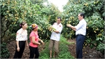 Tan Yen expands lychee areas grown under VietGAP standard