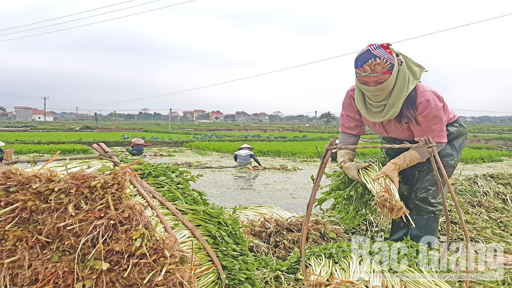 Hoang Luong expands cultivation area of VietGAP water dropwort