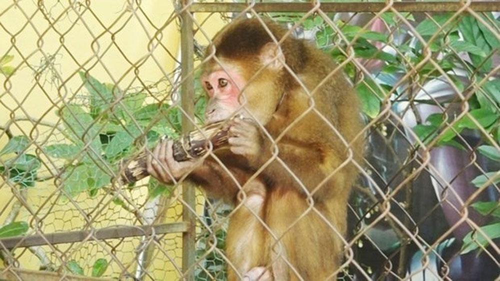 Quang Binh's resident, rare monkey, national park, stump-tailed macaque, rare and precious animal, Macaca Arctoides, Group IIB