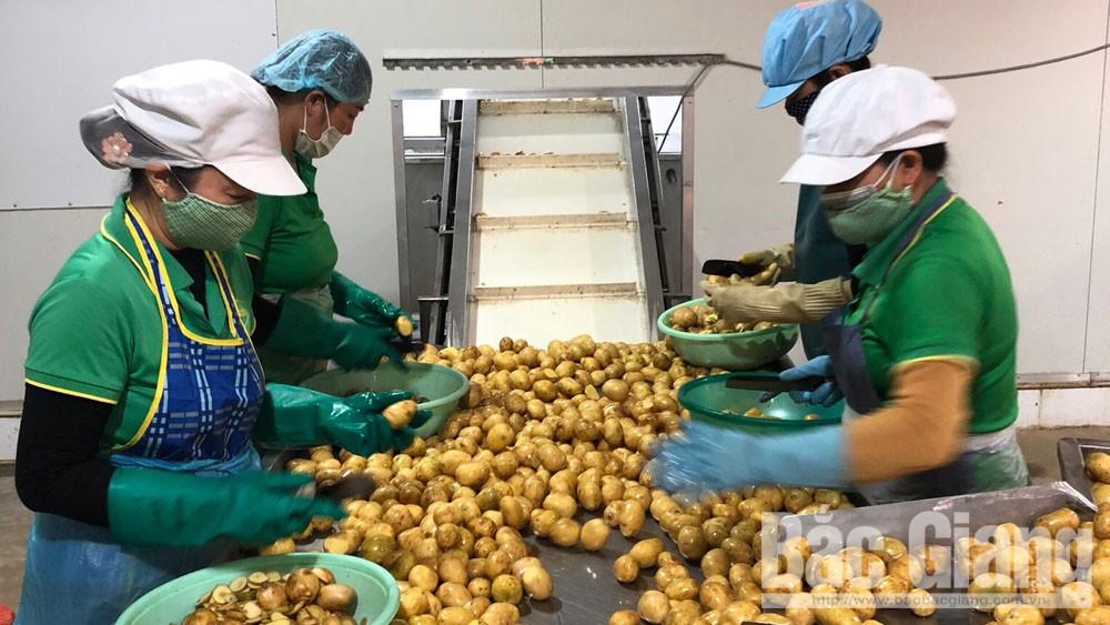 Xuất khẩu 500 tấn khoai tây sang Hàn Quốc