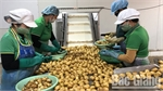 Bac Giang exports 500 tonnes of potato to RoK
