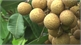 "Building and managing brand ""Yen The late ripen longan"""