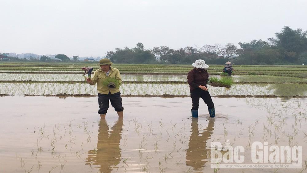 Lạng Giang: Hỗ trợ 650 triệu đồng giá giống lúa sản xuất vụ chiêm xuân