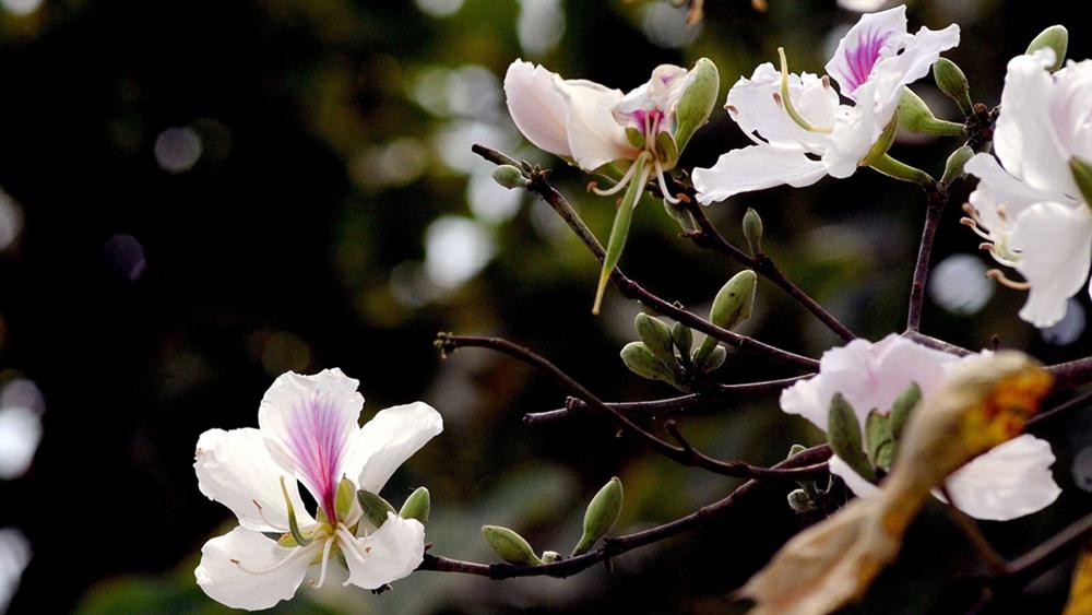 Mùa hoa ban khoe sắc