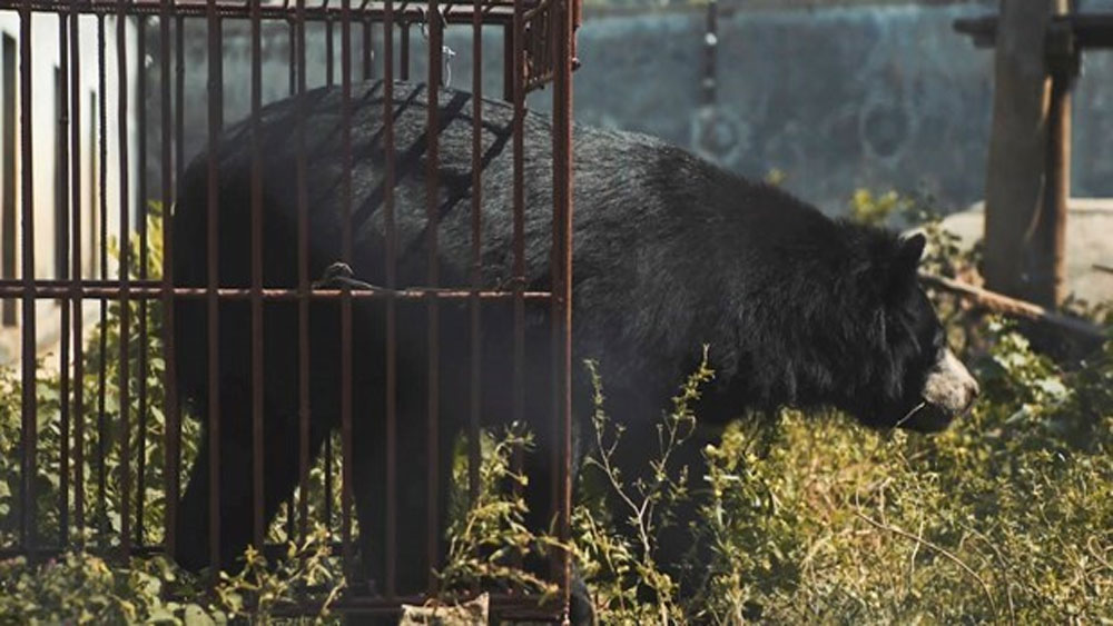 New short film released to call for end to bear farming