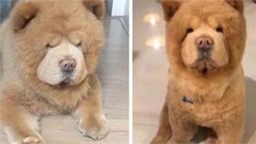 Cún cưng gây sốt mạng xã hội vì có khuôn mặt giống gấu Teddy