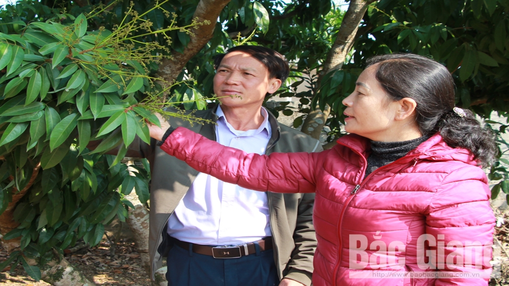 Bac Giang improves quality and actively promotes lychee consumption