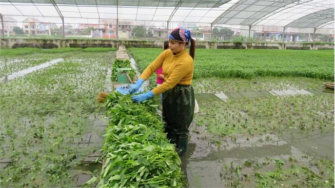 Hợp tác xã Sản xuất, tiêu thụ rau cần - cá giống Lý Hùng: Hướng đến sản phẩm hữu cơ