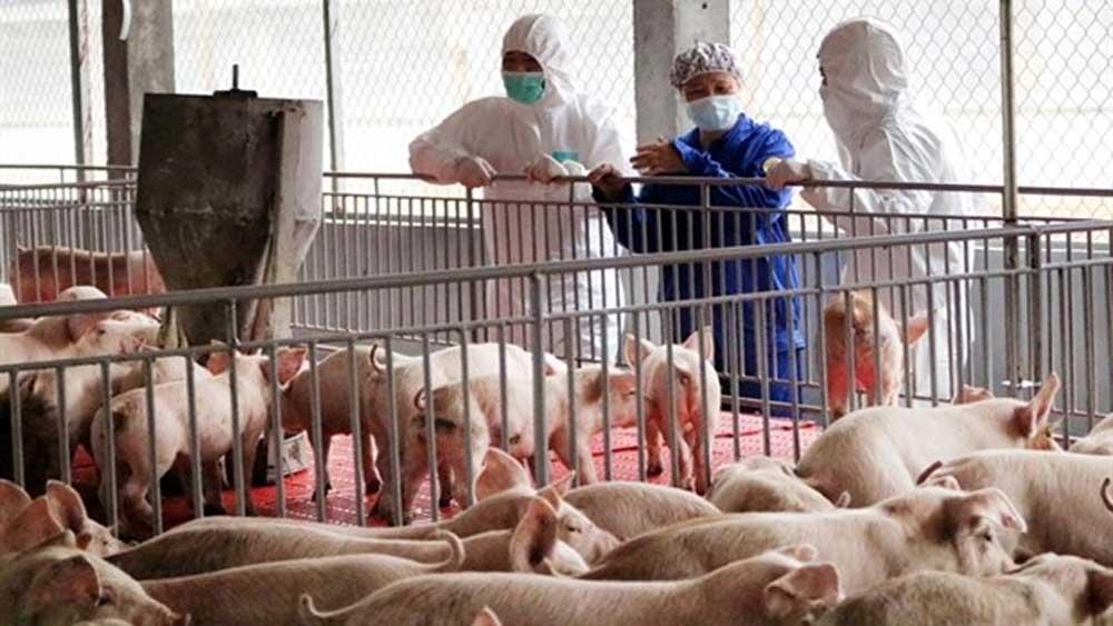 Vietnam, pork imports, pork prices, African swine fever, pig reproduction, biosafety standards, cross-border trade
