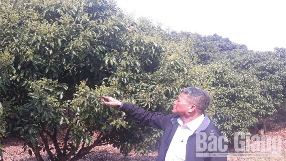 27 hectares of lychee additionally granted with production area code to export to Japan
