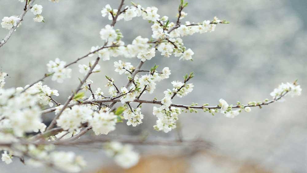 Mùa xuân ở Phố Trồ