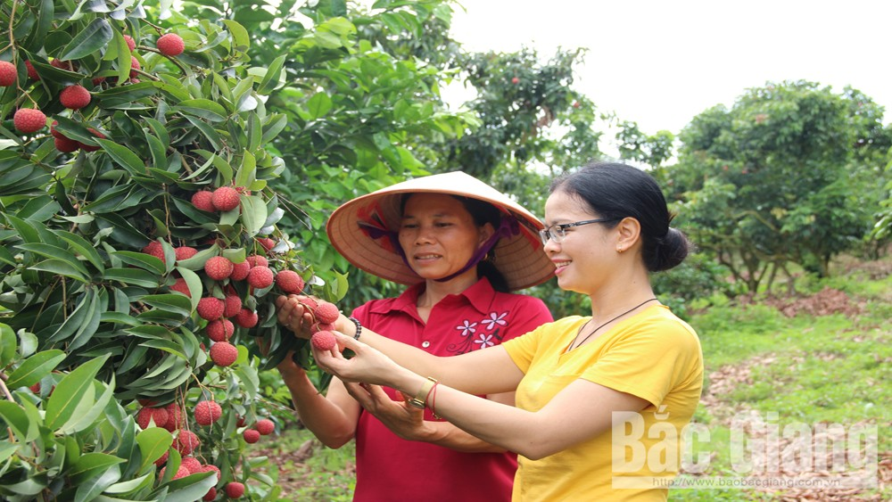Bac Giang province, GlobalGAP certificate, lychee cultivation, Luc Ngan district, Tan Yen district, demanding markets