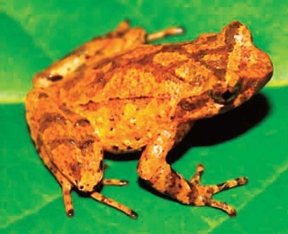 New species of toad,  discovered in Cao Bang, Megophrys toad, Vietnamese and German scientists, team of experts, biodiversity research